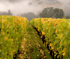 A vineyard in the mist - 5 myths about wine tours