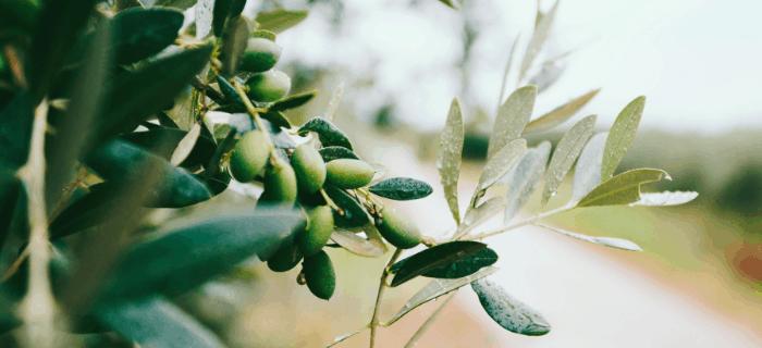 Tuscany Olives
